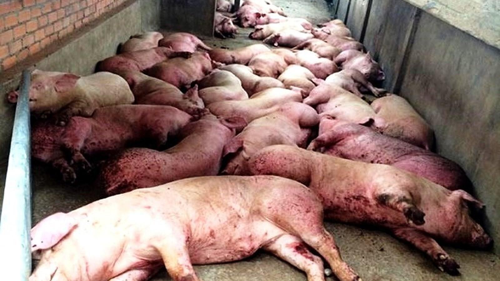 Thịt lợn bệnh