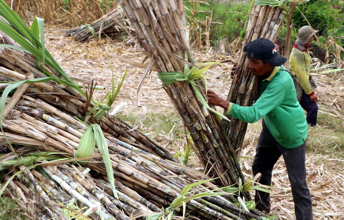 Cách bảo quản cây mía tươi lâu trong quá trình vận chuyển